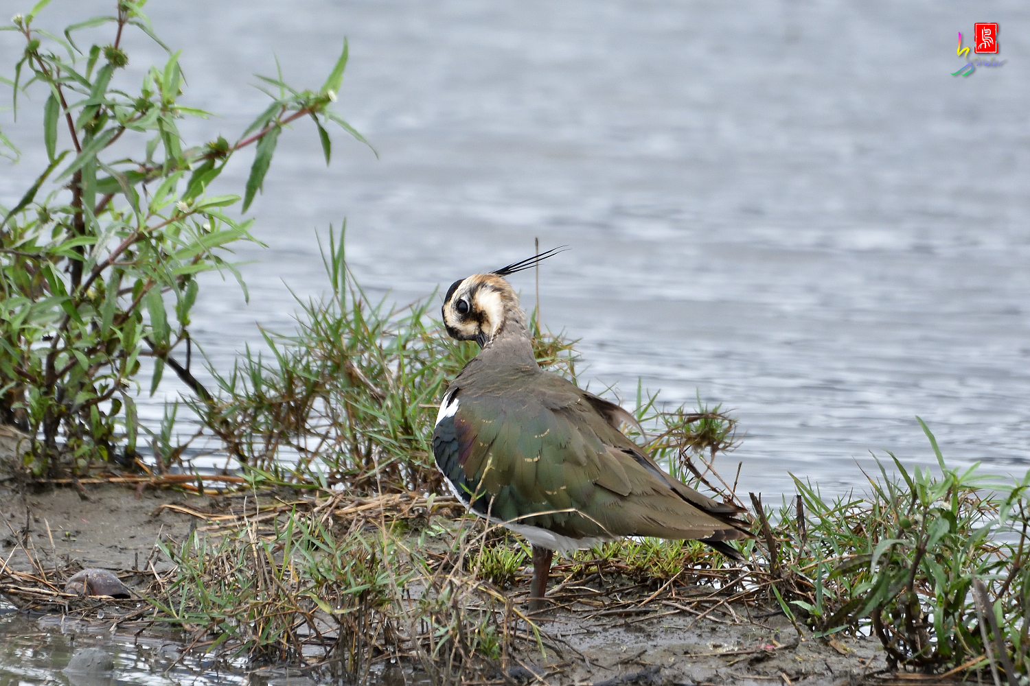 Northern_Lapwing_9876