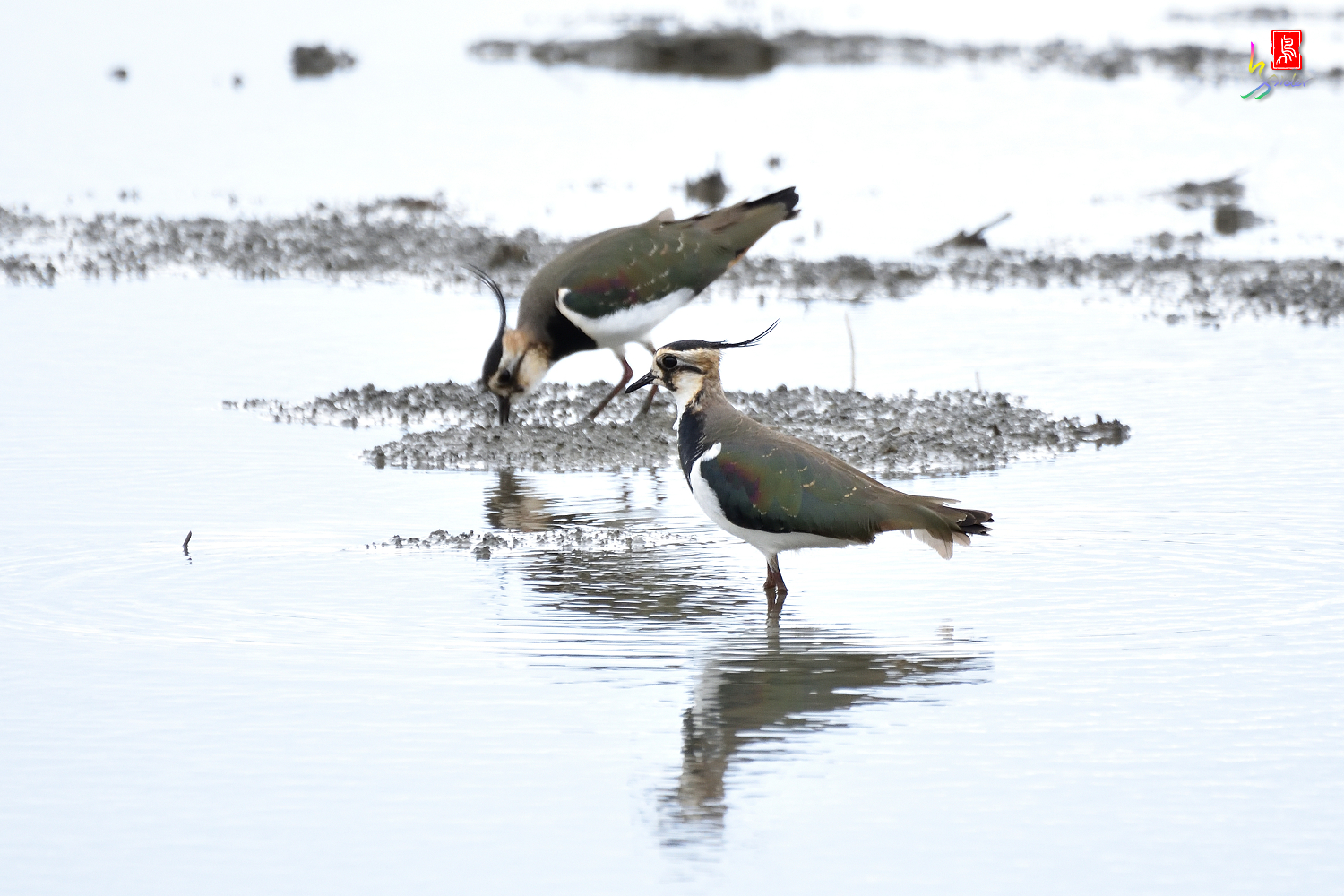 Northern_Lapwing_0386