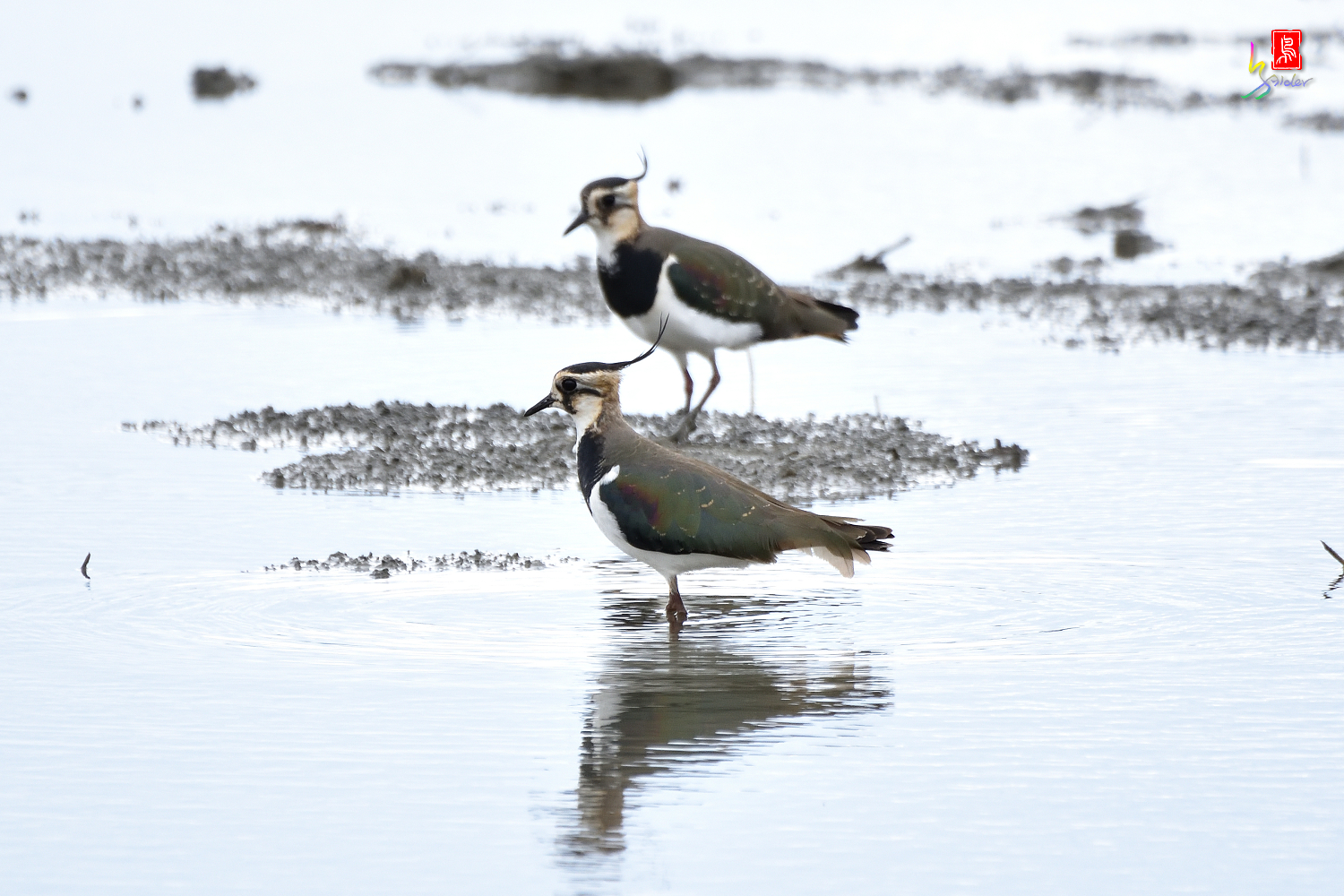 Northern_Lapwing_0385