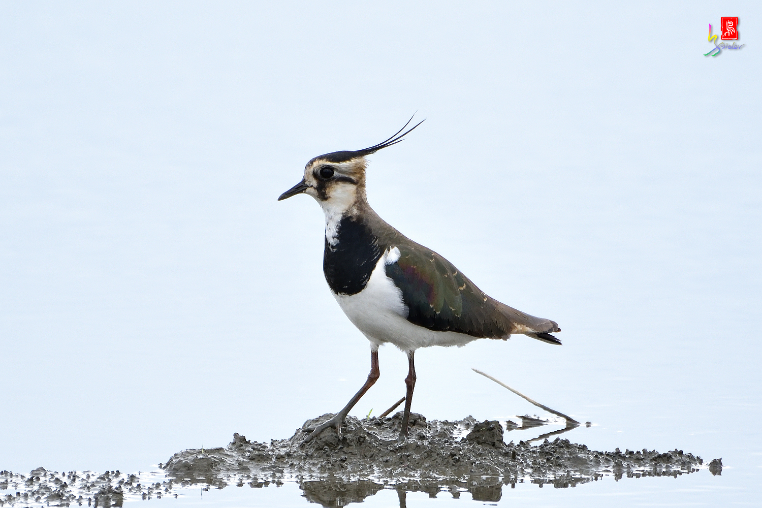 Northern_Lapwing_0351