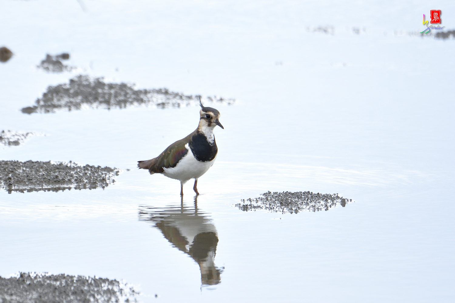 Northern_Lapwing_0276