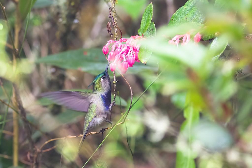 Green-crowned Plovercrest (Stephanoxis lalandi), Agulhas Negras, Minas Gerais, Brazil