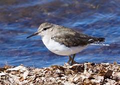 Shorebirds & Waders - Sandpipers - Common