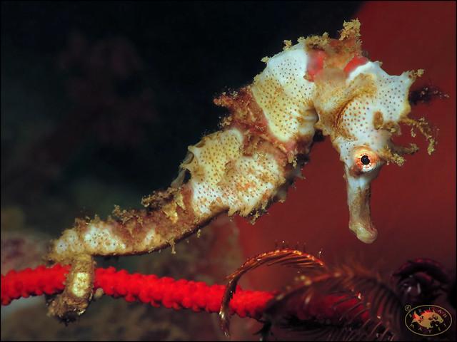 Half-spined Seahorse (Hippocampus semispinosus)