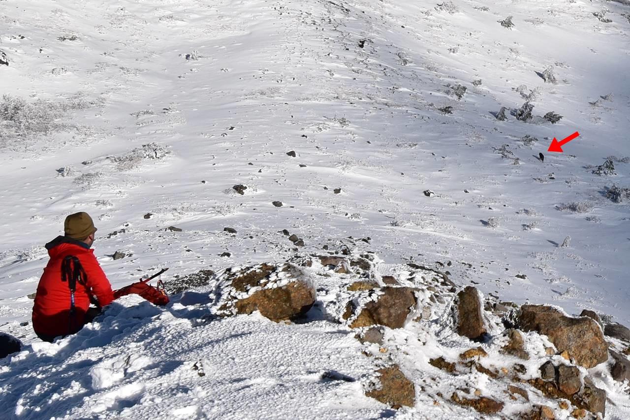 冬の磐梯山で見かけたカモシカ