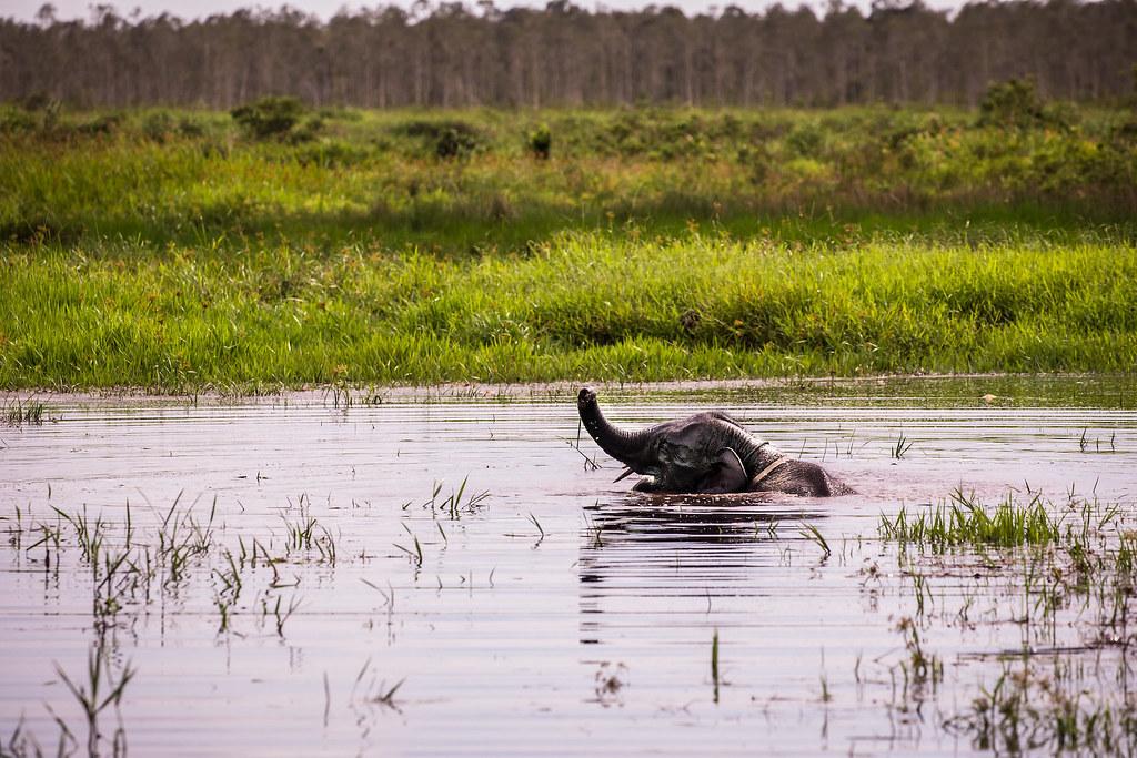 照片中的大象叫做肯,出生在巴東‧蘇吉汗保留區,非常喜歡在泥炭沼澤裡游泳,但這個地方飽受大火和土地使用變更的威脅。(照片來源:Rifky/CIFOR)