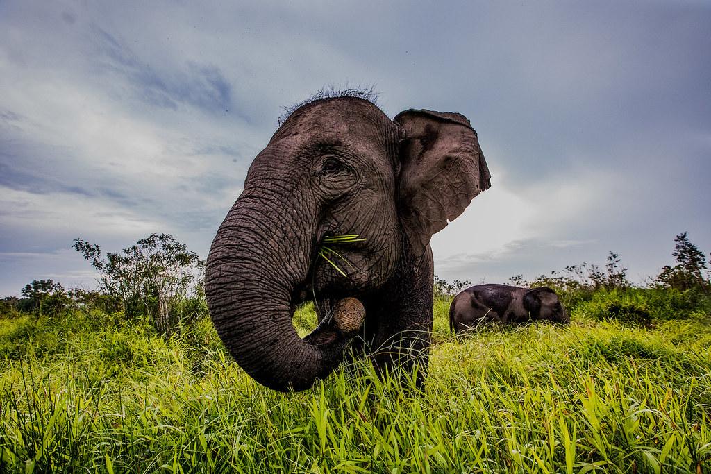 象群棲息的泥碳地飽受火災和土地利用變化威脅(照片來源:Rifky/CIFOR)