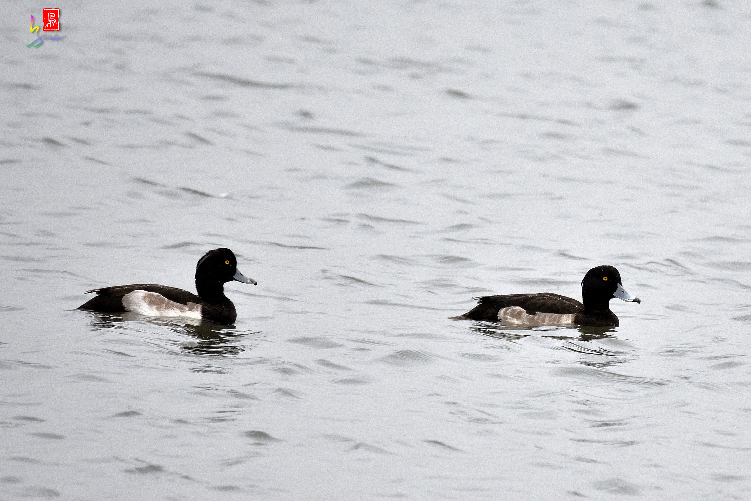 Tufted_Duck_9490