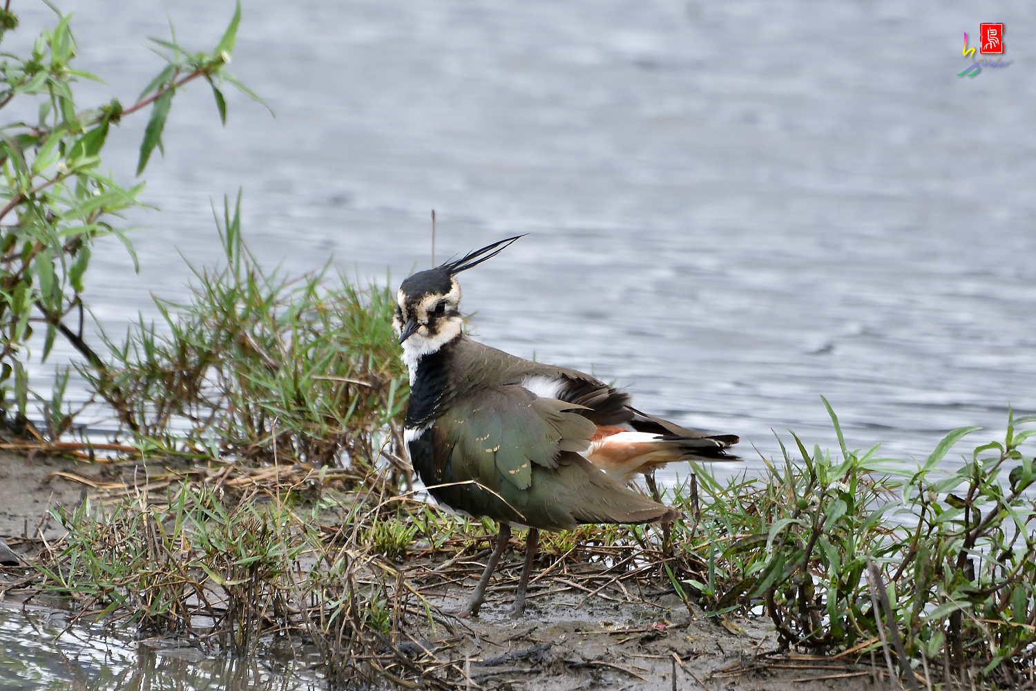 Northern_Lapwing_9793