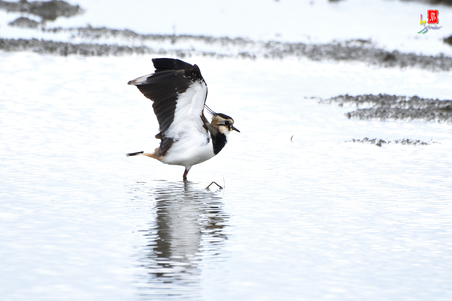 Northern_Lapwing_0416