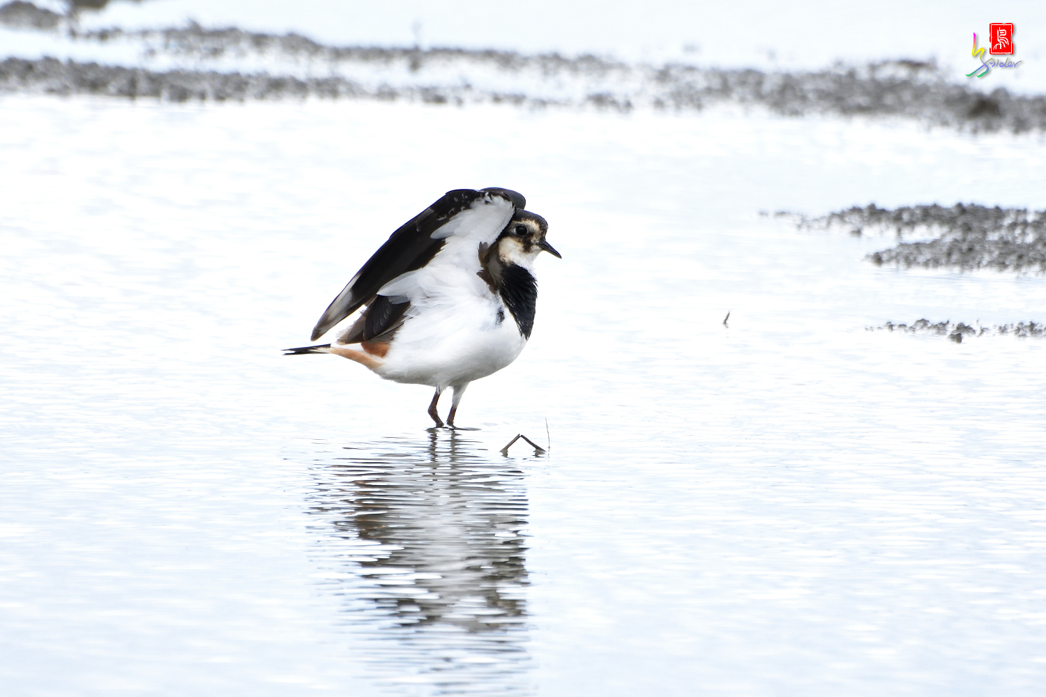 Northern_Lapwing_0415