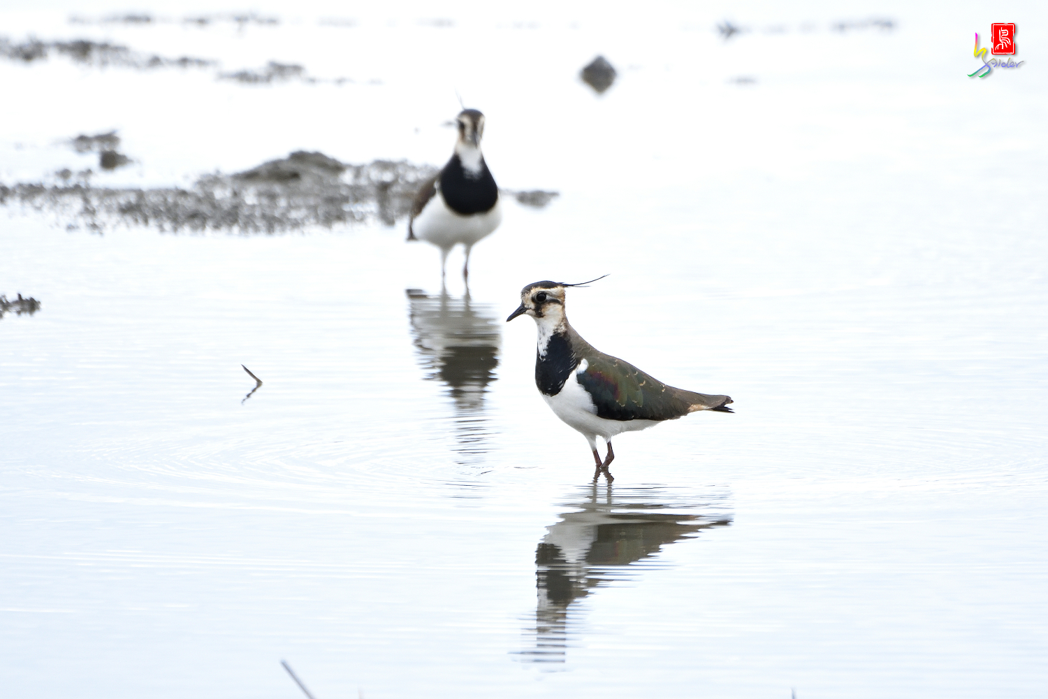 Northern_Lapwing_0378