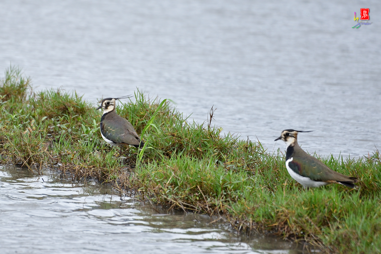 Northern_Lapwing_9925