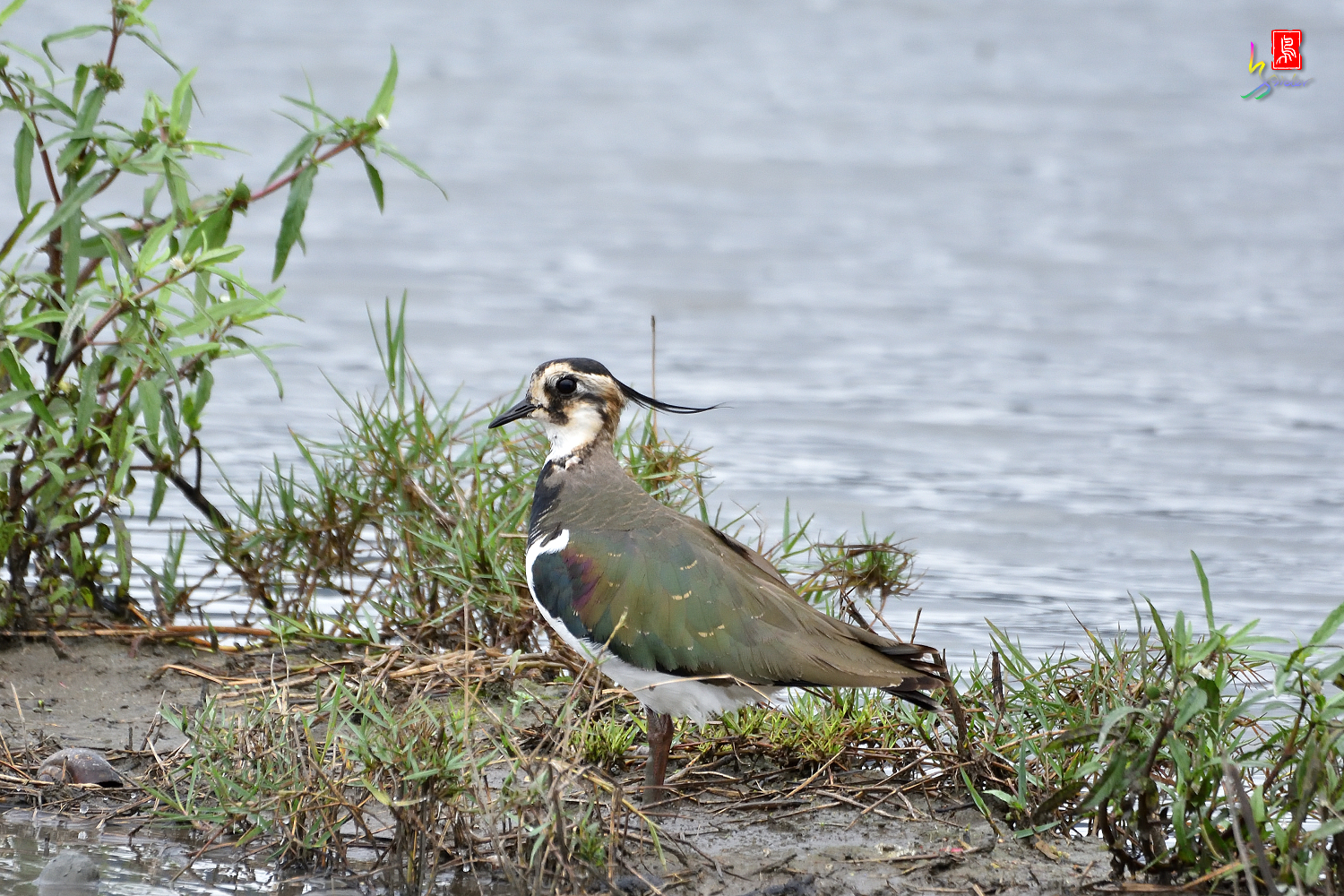 Northern_Lapwing_9883