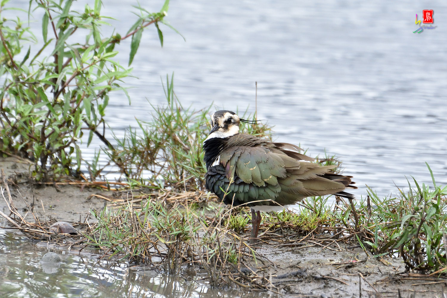 Northern_Lapwing_9811