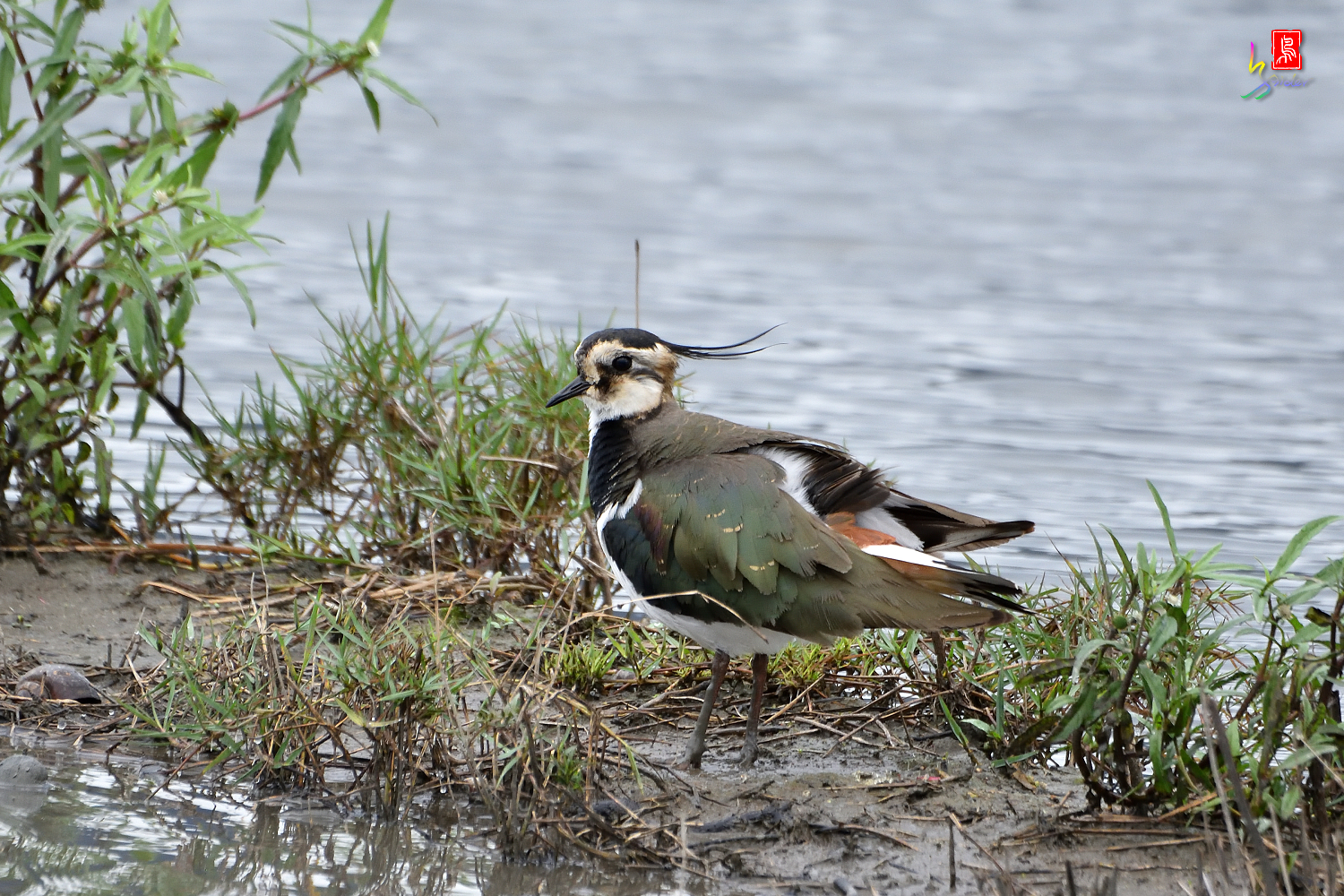 Northern_Lapwing_9797