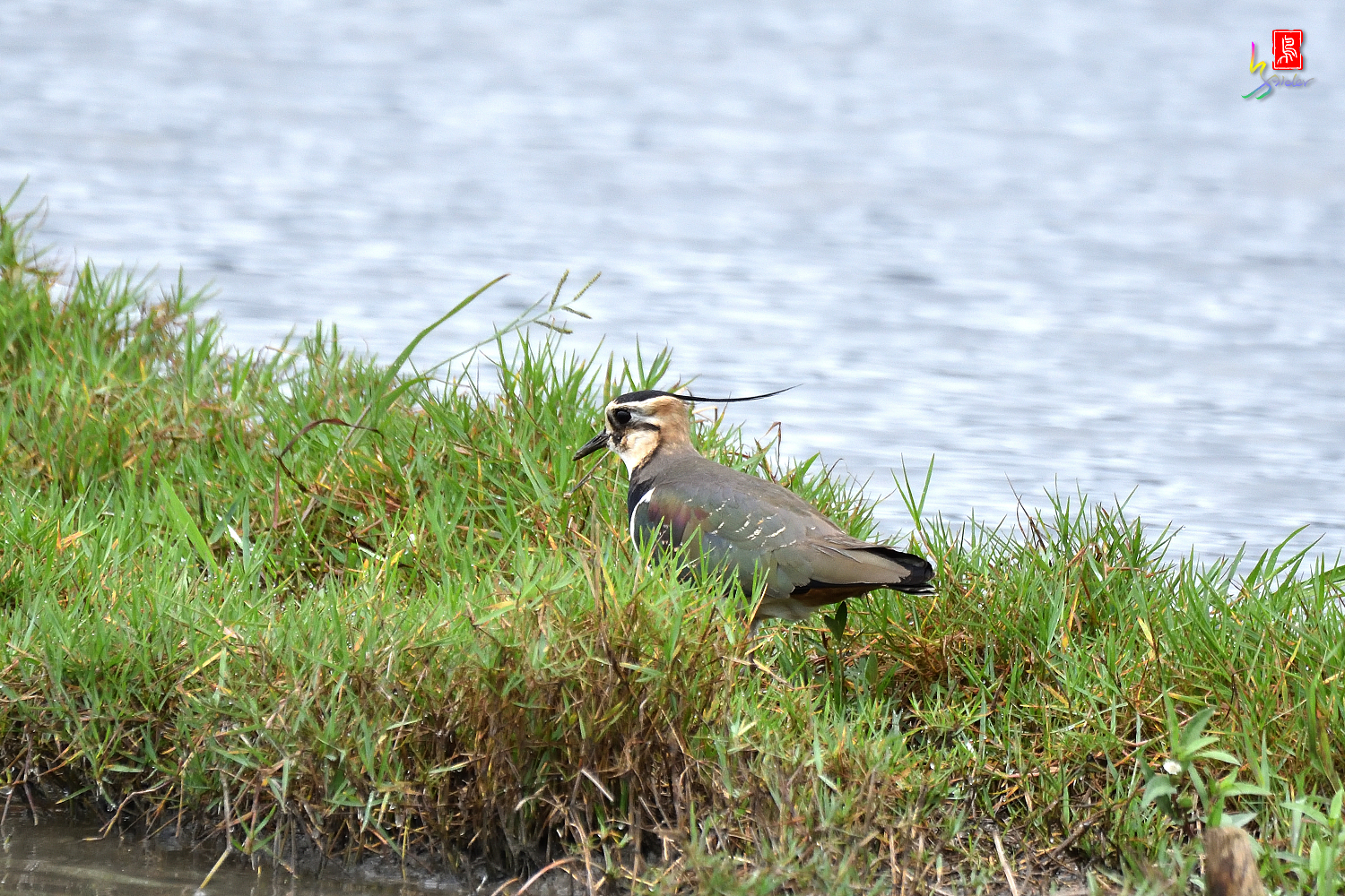 Northern_Lapwing_9782