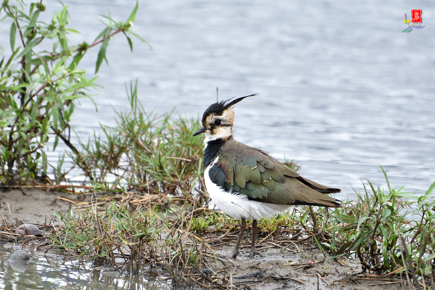 Northern_Lapwing_9775