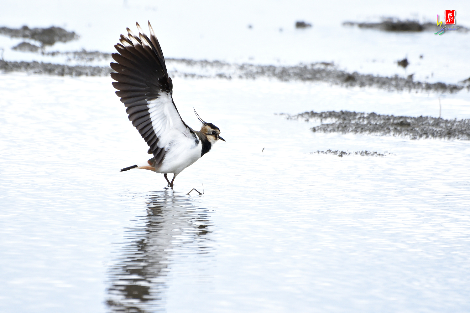 Northern_Lapwing_0417