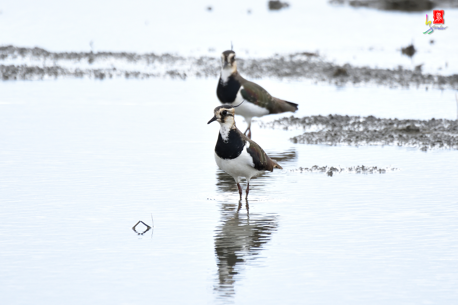 Northern_Lapwing_0394