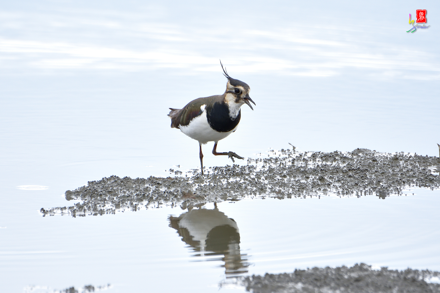 Northern_Lapwing_0323