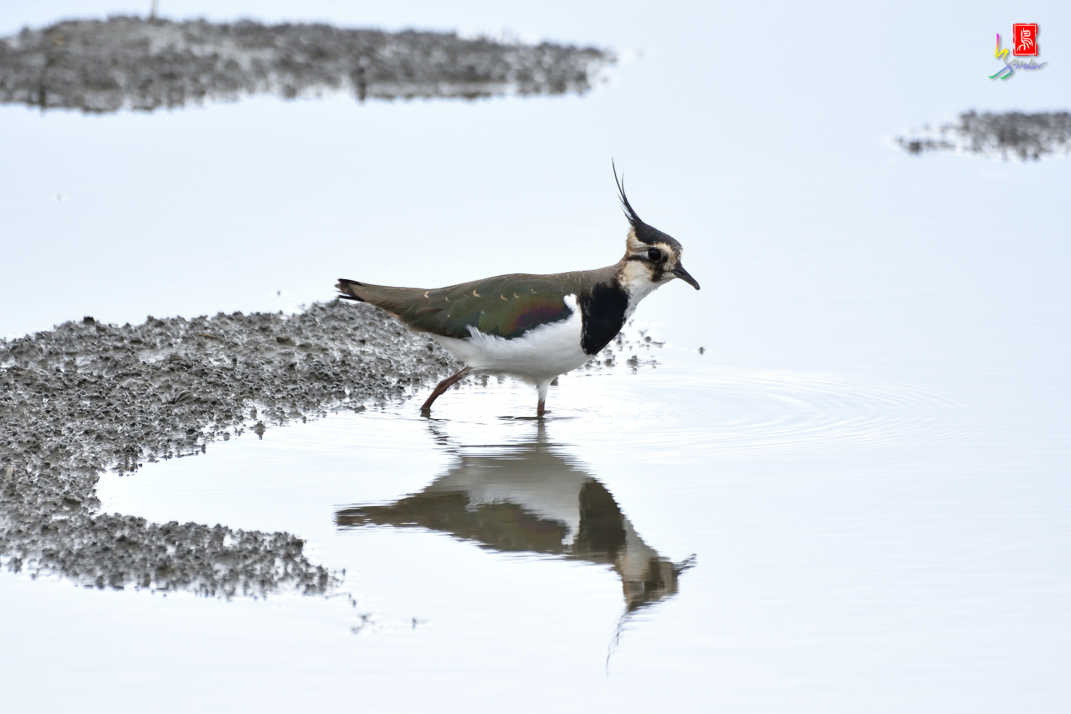 Northern_Lapwing_0300