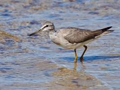 Shorebirds & Waders - Tattler - Grey-tailed (? juv.)