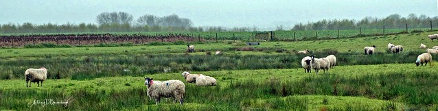 Sheep May Safely Graze 421z-1