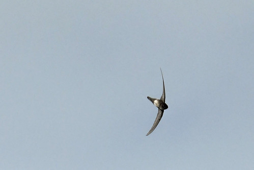 Marathon, FL: Antillean Palm-Swift