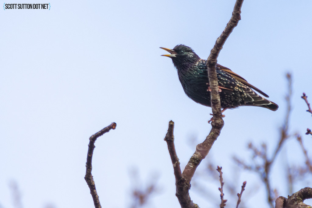 Starling singing up a tree in a field at Hendre Lake, Cardiff