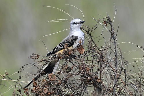 FL: Scissor-tailed Flycatcher
