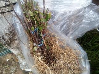 Protection de racines - paille