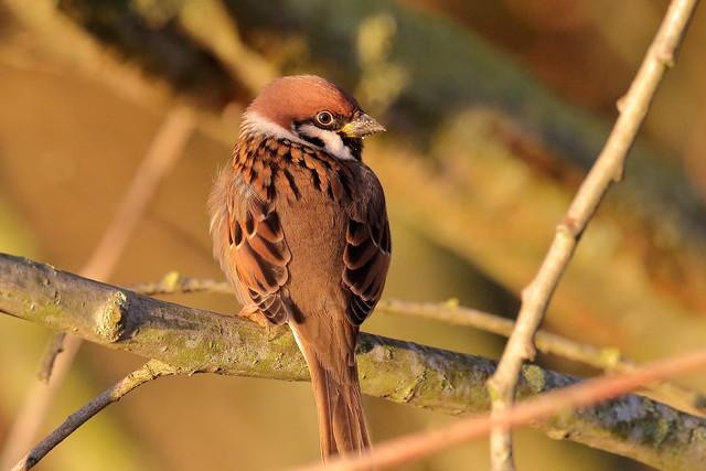Tree Sparrow (Passer montanus) - male