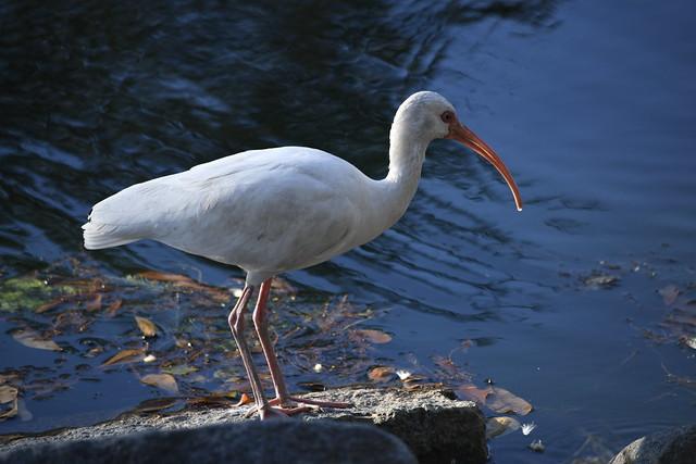 Ibis - Audubon park in New Orleans