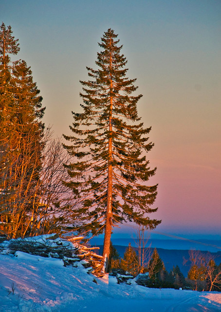 Pine tree at sunset on the Feldberg, Southern Black Forest