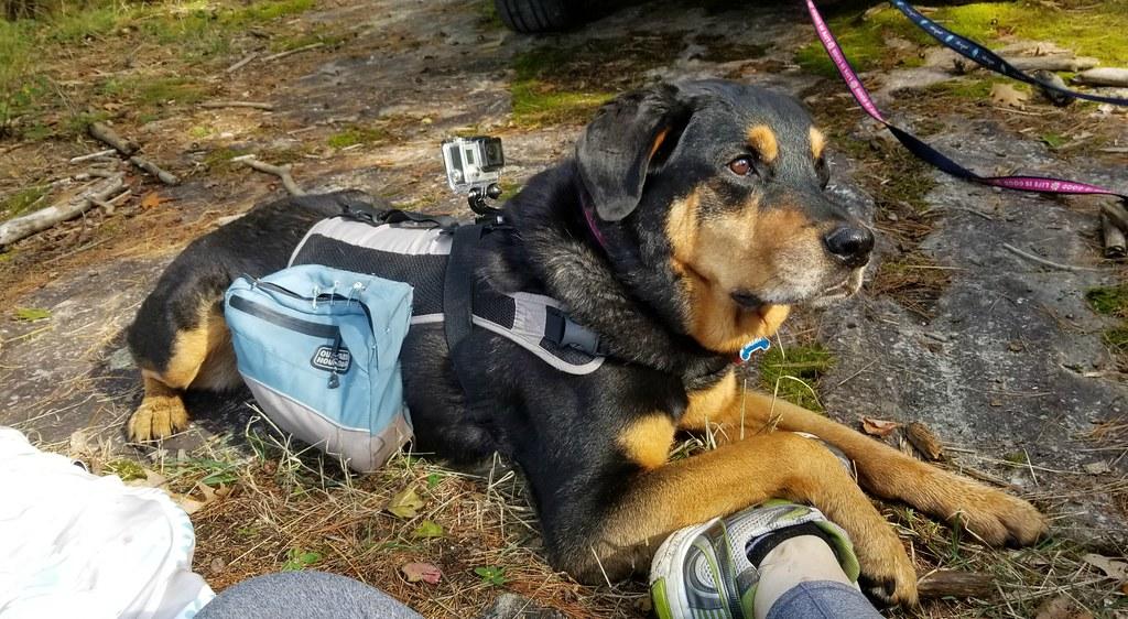 sasha rottweiler gopro outward hound