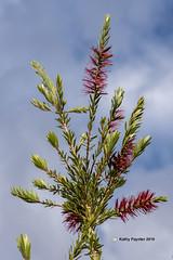 Desert Flower 525