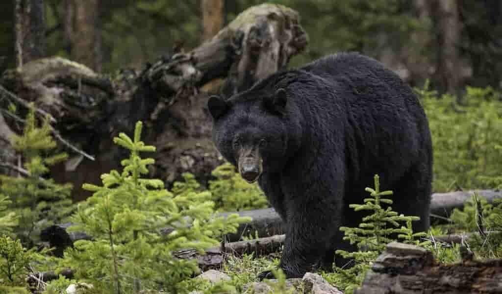 apprendre-des-ours-contre-la-perte-musculaire