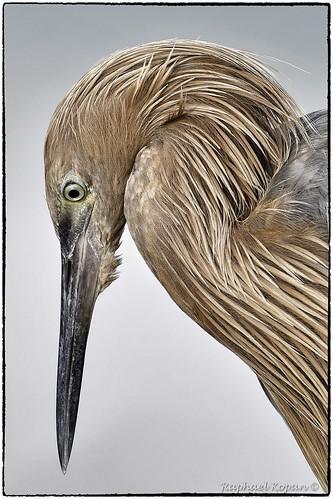 raphaelkopanphotography fortdesotostatepark florida d500 nikon 600mmf4evr nature bird portrait