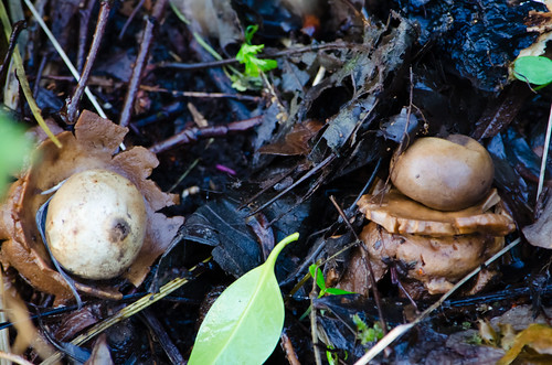 Collared earth stars in undergrowth, Perton