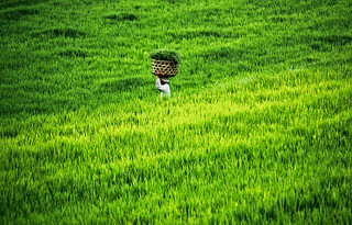 Farmer walking the ricefields in Bali, Indonesia
