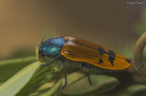 Conognatha azurea