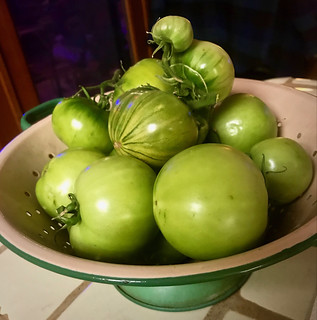 Green Tomatoes Picked Today In My Garden-2