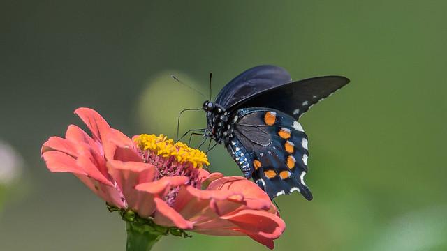 Black Swallowtail  7575
