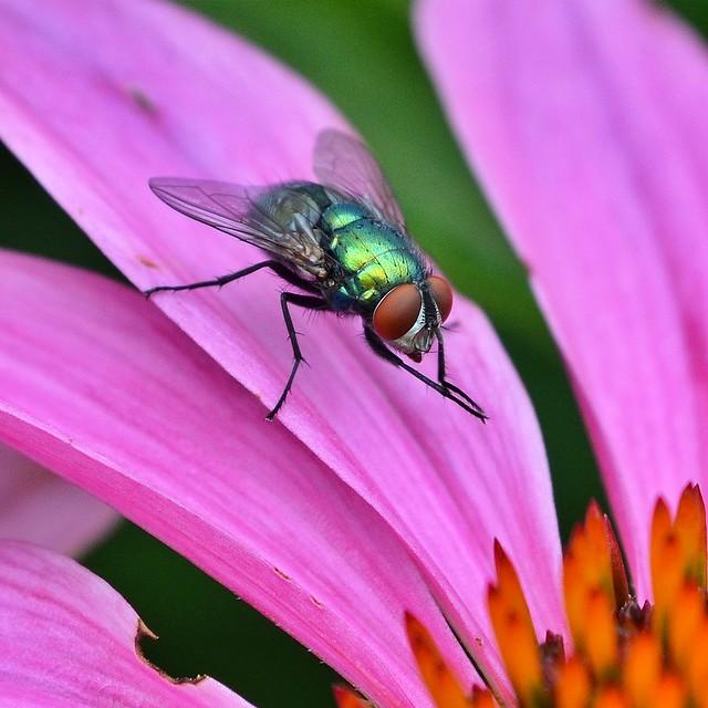 Green bottle fly on coneflower