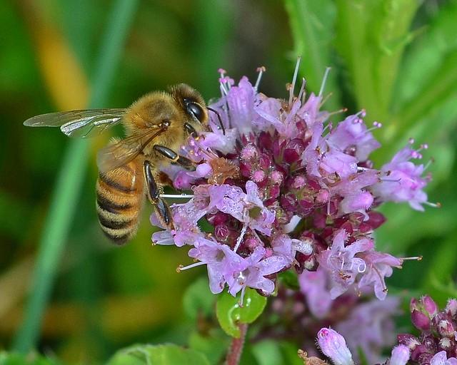 Honeybee on oregano