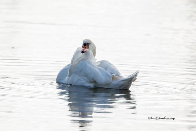 Mute Swan grooming
