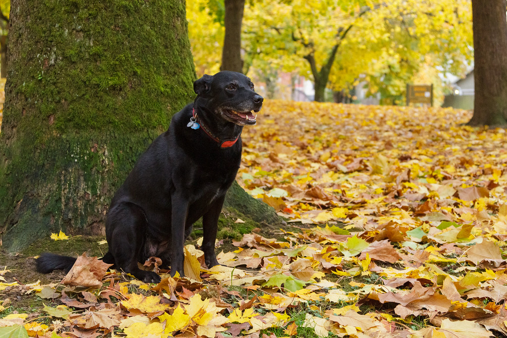 Our dog Ellie sits with her mouth open in fallen leaves beside a tree near the dog park of Irving Park in Portland, Oregon in November 2011
