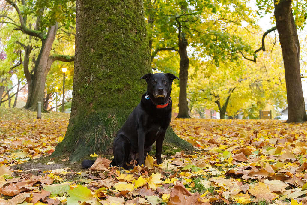 Our dog Ellie sits with her mouth closed in fallen leaves beside a tree near the dog park of Irving Park in Portland, Oregon in November 2011