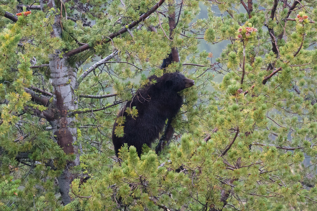 A black bear gazes longingly at pine cones just out of reach high in a tree on a rainy evening at Yellowstone National Park in Wyoming in October 2006